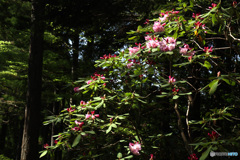 森に咲く石楠花