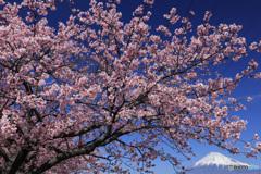寒桜、満開の頃