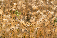 金麦の季節