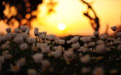 夕陽に向かって咲く