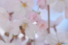 桜にも蜜があるのかなあ