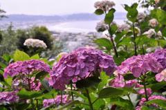 長谷寺の紫陽花と由比ヶ浜の海。。。