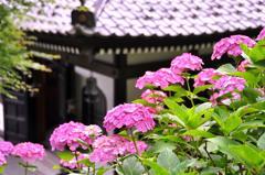 長谷寺の境内の紫陽花・・