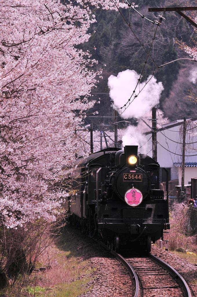 桜の沿いを走る大井川鉄道SLさくら号
