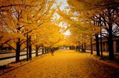 真っ黄色に染まった道・・昭和記念公園