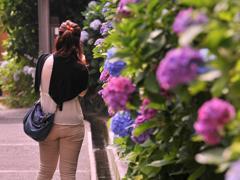 成就院の紫陽花を・・①