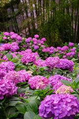 長谷寺の紫陽花と竹・・・