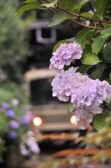 江ノ電沿いに咲く紫陽花・・御霊神社④