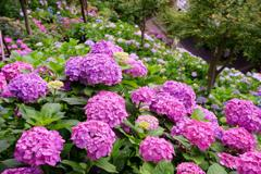 長谷寺の山崖に咲く紫陽花。。。