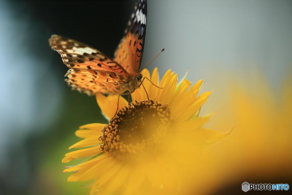 ミニ向日葵とツマグロヒョウモン 3