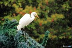 沖縄の鳥-チュウサギ1