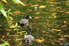 沖縄の鳥-オオバン