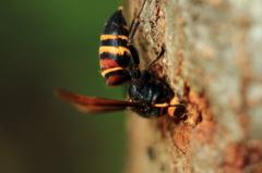 マクロでスズメバチ