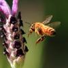 ラベンダーとミツバチ 2