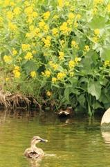 菜の花の咲く川とカルガモ 2