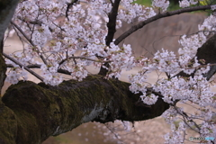 五条川の桜4
