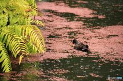 沖縄の鳥-バン