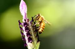 ラベンダーとミツバチ 1