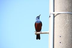 沖縄の鳥-イソヒヨドリ6
