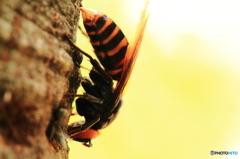 樹液を吸うスズメバチ 1