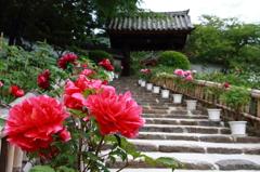 長谷寺-ボタンと山門