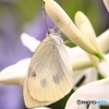 白いアガパンサスと白い蝶 2