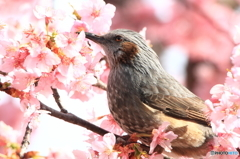 桜ヒヨ 2