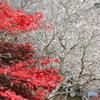 紅葉と四季桜のコラボ 2