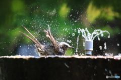ヒヨの水浴び 3