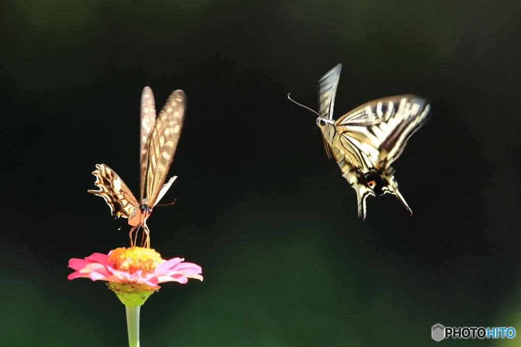 アゲハの飛翔1