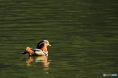 松尾池のオシドリ