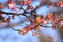 ジョウビタキと河津桜・・・