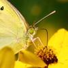 黄色い花に黄色い蝶 1