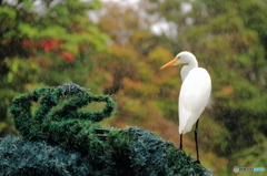 沖縄の鳥-チュウサギ2