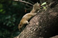 浜松城公園のリスたち 1