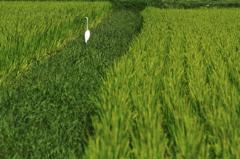 田んぼの中の白鷺 2