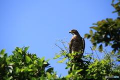 沖縄の鳥-サシバ2