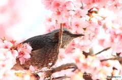 桜ヒヨ 1
