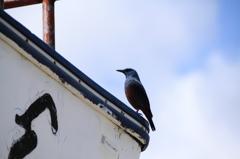 沖縄の鳥-イソヒヨドリ5