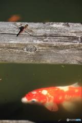 トンボと鯉