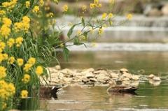 菜の花の咲く川とカルガモ 1