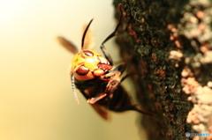 樹液を吸うスズメバチ 3