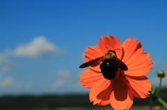 黄色い花とクマバチと... 2