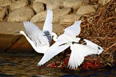 白鷺の舞い