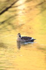 金色に輝く水面で・・・。