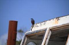 沖縄の鳥-イソヒヨドリ3