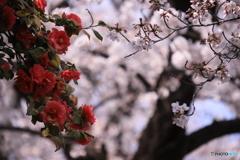 五条川の桜と椿