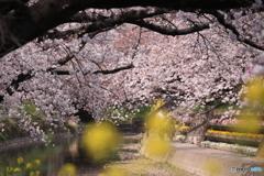 五条川の桜3