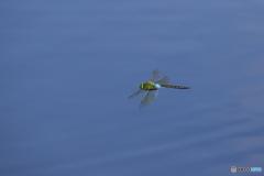 池の上を飛ぶ