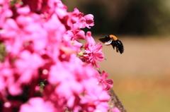 小さな生き物シリーズ-クマバチ 2